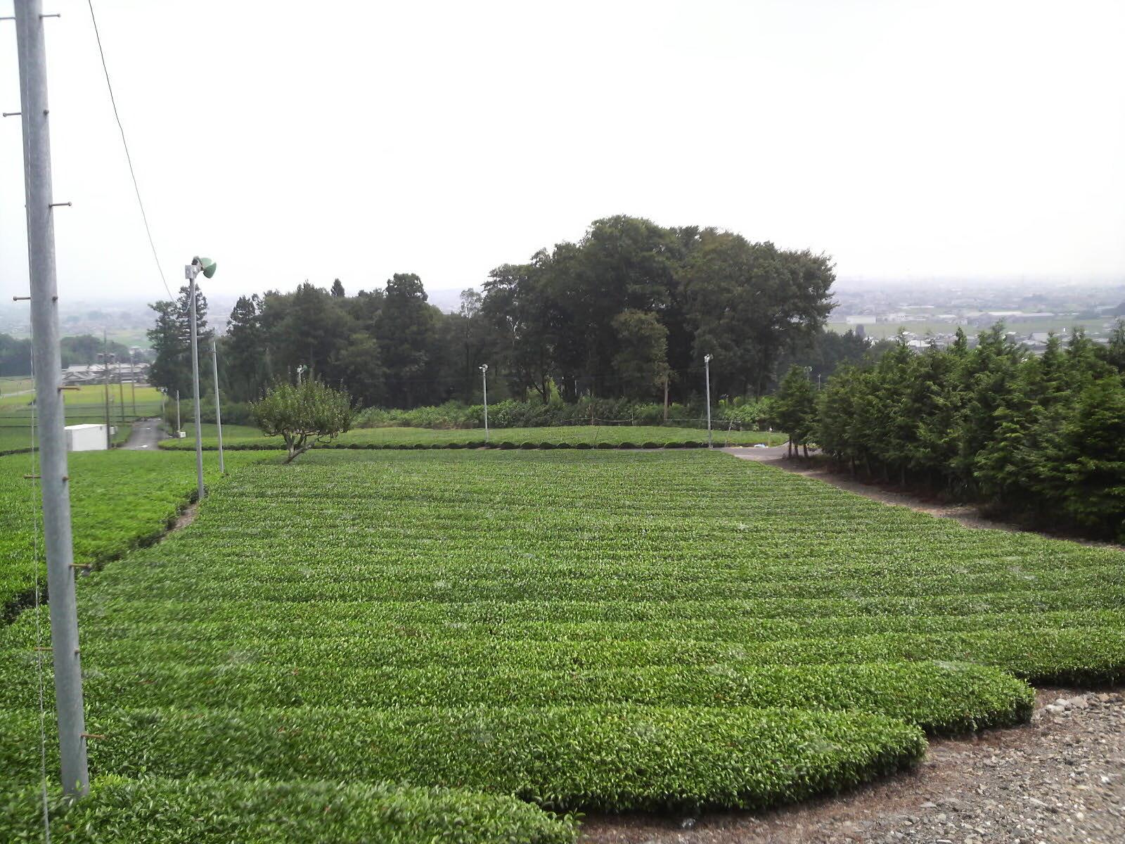 茶畑ダッシュ〓